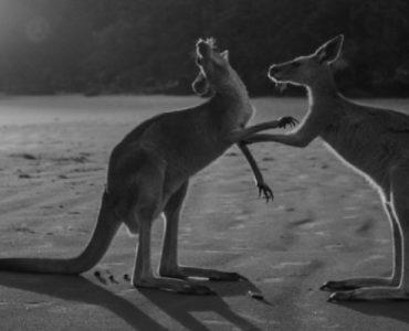 kangaroos greeting each other on sandy beach