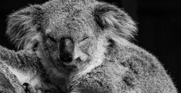 cute koala on a tree branch