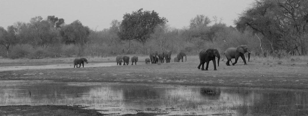 elephant herd in the Okavango Delta, Botswana