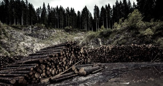 logs from a pine forest