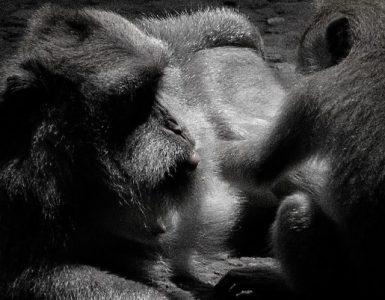 monkeys grooming, Indonesia